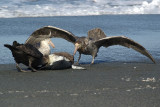 Petrels - lunch time