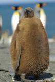 m³ody pingwin królewski (aptenodytes patagonicus)