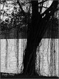 Long Hair Tree