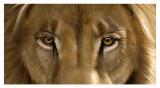 Lion close-up (detail)