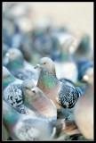 Pigeon Hangout