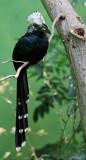 long-tailed hornbill