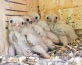 4 baby Kestrels