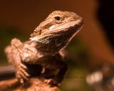 Jens  lizard
