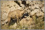 Ewe, Big Horn Sheep