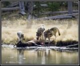 Wolves and an Elk Kill