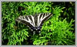 Pale Swallowtail (rare to Alberta)
