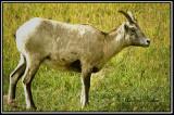 Big Horn Sheep(female)