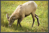 Big Horn Sheep( Young Male)