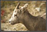 Big Horn Sheep(juvenile)