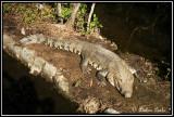 Cancun Mexico Alligator
