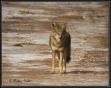 Cibola WLR, Coyote