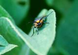 VIRGINIA CTENUCHA (Ctenucha virginica)