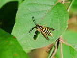 EASTERN YELLOWJACKET ( Vespula maculifrons )