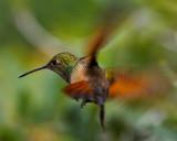 BERYLLINE HUMIMINGBIRD