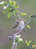 Willow Warbler- Phylloscopus trochilus