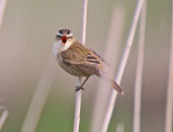 Sedge Warbler-Acrocephalus schoenobaenus