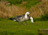 Ross/Barnacle Goose Hybrid