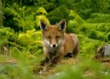 Fox - Vulpes vulpes