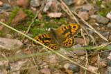 Wall Brown - Lasiommata megera