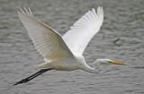 Great  White Egret - Ardea alba