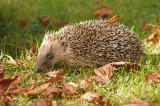 Hedgehog - Erinaceus albiventris