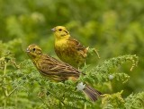 Yellowhammer- Emberiza citrinella