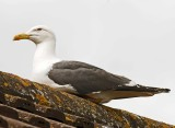 Lesser Black-backed Gull - Larus fuscus