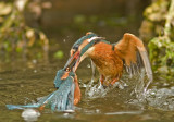 Kingfisher - Alcedo athis