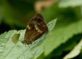 Gate Keeper -  Pyronia tithonus
