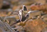 Pied Wagtail - Motacilla alba yarellii
