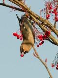 Bohemian Waxwing -Bombycilla garrulus