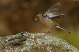 Chaffinch - Fringilla coelebs