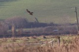 Hen Harrier- Circus cyaneus