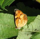 Northern crescent (Phyciodes cocyta) ?