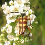 Flower longhorn beetle (Typocercus velutinus)