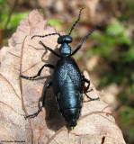 Blister beetle (Meloe sp.)