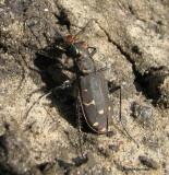 Twelve-spotted tiger beetle (Cicindela duodecimguttata)