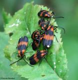 Net-winged Beetles (Lycidae)