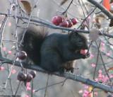Grey squirrels with food  (Sciurus carolinensis)