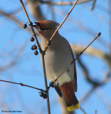 Bohemian and Cedar Waxwings