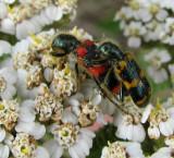 Checkered beetles (Trichodes nutalli) on Yarrow