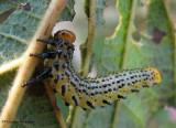 Argid? Sawfly larva