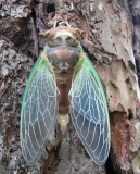 Cicada- just emerged from its pupal case