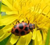 Spotted ladybeetle ( Coleomagilla maculata) on dandelion