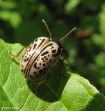 Dogwood Calligrapher beetle (Calligrapher philadelphica)
