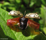 Calligraphic Beetles (Calligrapha species)