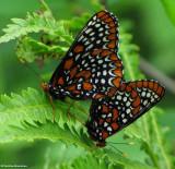 Mating Baltimore checkerspot butterflies (Euphydryas phaeton)