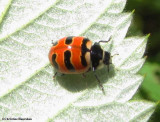 Three-banded ladybeetle (Coccinella trifasciata)