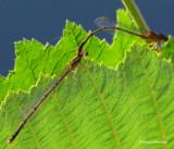 Mating Orange bluets (Enallagma signatum)